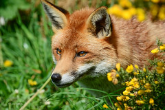 NIK_6043-104 (Mobile Lynn) Tags: nature mammal unitedkingdom wildlife ngc surrey fox british watermarked newchapel coth greatphotographers supershot britishwildlifecentre specanimal platinumheartaward simplysuperb nationalgeographicwildlife coth5 sunrays5 infinitexposure