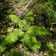 Fern, Baihe Nature Reserve, Jiuzhaigou (Niall Corbet) Tags: china fern forest naturereserve sichuan jiuzhaigou baihe