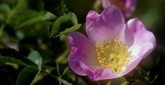 Rose bush (KF-Photo) Tags: stempel buschrose rosengewchs kirchentellinsfurt buschrschen