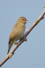 _53F8834 Indigo Bunting (vocalizing female) (~ Michaela Sagatova ~) Tags: female spring dundas songbird indigobunting passerinacyanea birdphotography dvca michaelasagatova