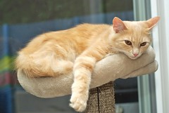 IMGP9264 (frankbehrens) Tags: cats tom cat chats kitten chat gatos gato katze katzen kater creamtabby
