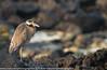 Nycticorax violaceus - Bihoreau violacé - yellow crowned night heron - 2014 Galapagos - Genovesa 01.jpg