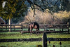 Thoroughbred R&R... (© S. D. 2010 Photography) Tags: horse race bay countryside mare rustic peaceful rr sunlit enhanced thoroughbred equine oldfence beautifulhorse adobelightroom5 peacefulhorse racehrose