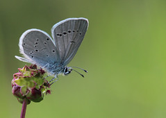 small blue (andy_porter69) Tags: blue macro canon is bokeh small bank 100mm l usm oxfordshire 600d radnage yoesdan