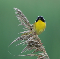 """Common yellowthroat • <a style=""""font-size:0.8em;"""" href=""""http://www.flickr.com/photos/75865141@N03/14403361646/"""" target=""""_blank"""">View on Flickr</a>"""