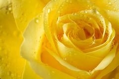 Sep 27 - Classic yellow (hajeka) Tags: 201609 pad color flower macro rose efs60mmf28macrousm
