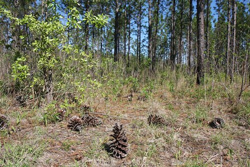 Longleaf pine forests are a threatened ecosystem, with only 3 million acres left in the country.  The Longleaf Pine Initiative provides cost-share assistance for landowners who use programs like the Healthy Forest Reserve Program to plant longleaf pine.