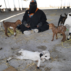 New born goat and bedu woman - Oman (Eric Lafforgue) Tags: people woman square outside outdoors exterior veiled veil mask outdoor femme muslim islam arabia masked niqab oman abaya voile burqa masque beduin bedouin dehors musulman omán carre burka salalah 阿曼 sultanate dhofar bedouine arabie عُمان colorpicture nikab traveldestination sultanat vueexterieure arabianpeninsula photocouleur omã オマーン omão umman omaan dhufar colourpicture оман masquee 오만 ομάν โอมาน omāna omanas umān penisulearabique southoman 4459513