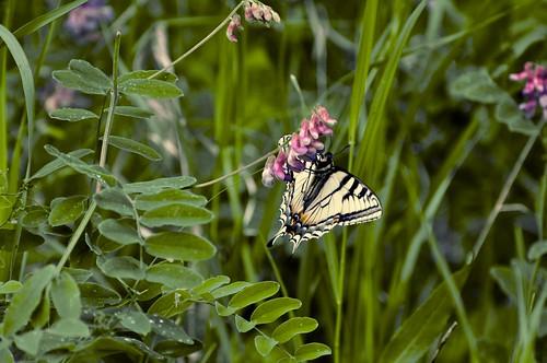 Tiger Swallowtail 3
