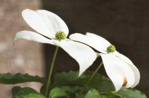 White Linen {308/365}