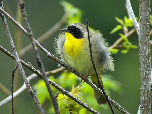 Common Yellowthroat, Apr 2011