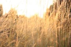 Getreide in der Morgensonne (andib__) Tags: wood morning sun corn grain feld sonne morgen grtringen getreide holzstapel