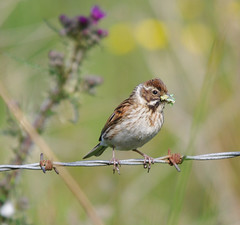 Hen Reed Bunting with Seeds at Lisburn (Alistair Prentice.) Tags: summer bird reed nature photography pentax birding prentice hen hillsborough bunting kx rspb