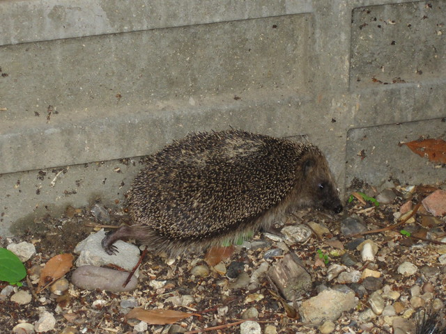 our hedgehog (3)