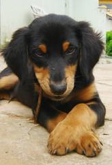 (Alessandra Carreo) Tags: dog puppy mutt cachorro simba filhote atitude