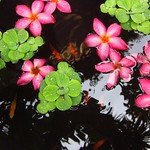 "Floating Flowers and Fish at Jim Thompson House Garden <a style=""margin-left:10px; font-size:0.8em;"" href=""http://www.flickr.com/photos/14315427@N00/6930454236/"" target=""_blank"">@flickr</a>"