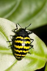 Erotylus sp (Caranpaima) Tags: yellow colombia beetle amarillo fungus beetles escarabajo choco pleasant hongos pleasing erotylidae cucarron erotylus biogeografico