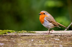 Robin catwalk. (Luke Bailey1) Tags: christmas wood uk red portrait orange cute art nature beautiful robin birds animal contrast forest outside photography moss wings woods cornwall breast artistic wildlife flight beak cutie seeds teenager lichen claws cornish westcountry redbreast naturephotography countrypark kernow under15 greatbritian tehidy goodphotography bokkeh amateurphotography getcomments amazingphotography getviews getfa