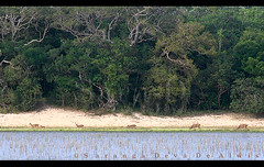 Wilpattu (Sara-D) Tags: park nature animals forest landscape asia wildlife sl sri lanka national srilanka ceylon lk wildanimals southasia sarad lakescape wilpattu saranga sarangadevadealwis wilpattunationalpark sarangadeva
