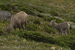 "Bighorn Sheep • <a style=""font-size:0.8em;"" href=""http://www.flickr.com/photos/63501323@N07/7085727459/"" target=""_blank"">View on Flickr</a>"