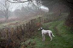 Inconvenient Fence (Shastajak) Tags: dog fence pentax whippet friday bullterrier sighthound rehomed rescued k5 saluki lurcher flori crossbreed hff hastingscountrypark gazehound warrenglen tamron18250mm pentaxk5