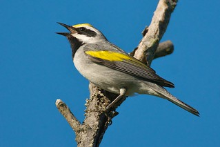 Golden-winged Warbler-Vermivora chrysoptera
