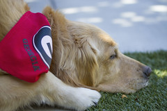 Those DAWGS were bad today! (Exdeltalady) Tags: goldenretriever canine pet bestfriend atticus uga georgia football