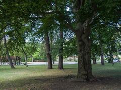 Baum, Park - Frieden. (luzifair) Tags: thale harz park friedenspark buche baum beech tree green