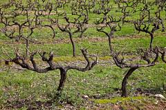 Vineyard (JOAO DE BARROS) Tags: barros joo vineyard plant botany
