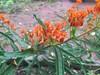 Butterfly Weed (moonwatcher13) Tags: butterflyweed milkweed asclepiastuberosa apocynaceae takomapark maryland iphone iphone6