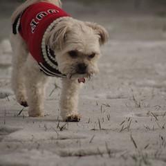 Bear (Maddyphotographer) Tags: shorkie puppy yorkie shih tzu dog snow snowdog