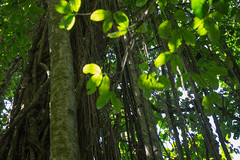 20160130-5C4A0308 (Take-it-easy59) Tags: 2016 30012016 corcovado corcovadoparquenacional costarica npcorcovado nature naturephotography tropicalrainforest tropischregenwoud winter