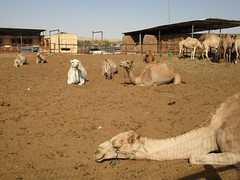 Israel, camels in Chan Hashayarot Bedouin camp (sebd_ch) Tags: bedouin camel