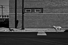 (Brian Hagy) Tags: blackandwhite bw dog white chicago black streetphotography chase stray