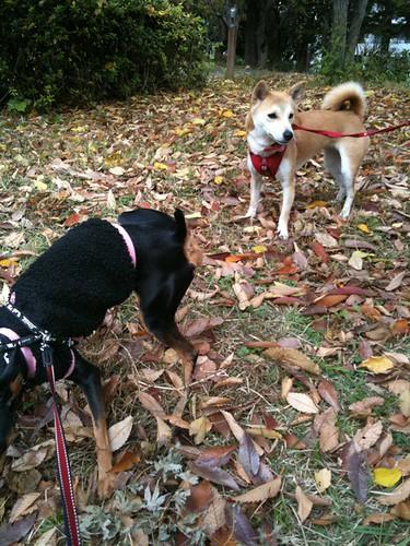 今日も会えたよ。柴犬の女の子。黒犬に夢中。たとえるならサザエさんに出てくる花沢さんみたいな感じ。