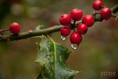 Acebo (jrtorre) Tags: naturaleza nature hojas lluvia nikon arboles gotas bosque otoño nublado fotografia frío cantabria 2010 acebo d300 ucieda rinconesdecantabria jrtorre