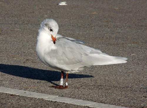 23636 - Mediterranean Gull, RSPB Radipole Lake