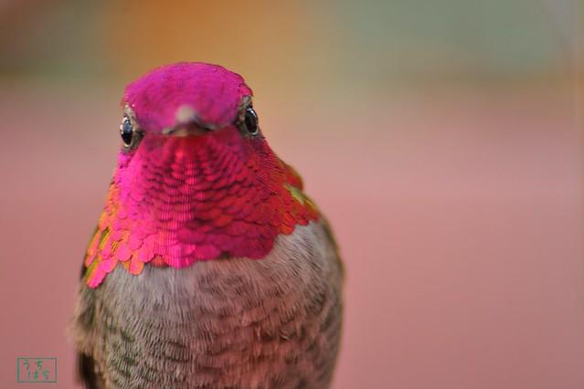 Anna's Hummingbird 112310-5