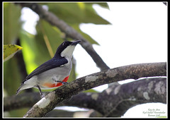 Red-keeled Flowerpecker (Rey Sta. Ana) Tags: wild white bird eye heron birds bay ana pics wildlife low philippines flock ducks rail kites manila rey land birdsinflight subic coron eagles dinosaurs waders cuckoo avian sta waterbirds bif palawan eastwood sunbird shrike philippine wildbirds bestshots ternate drongo mantarey coucals candaba staana avianphotography midoro 672178186 923681625 360351256 596691615 philippinebirds reysa bestimages philippinescenery birding2010 mtkalaonpark philippinebirdphotography reystaana