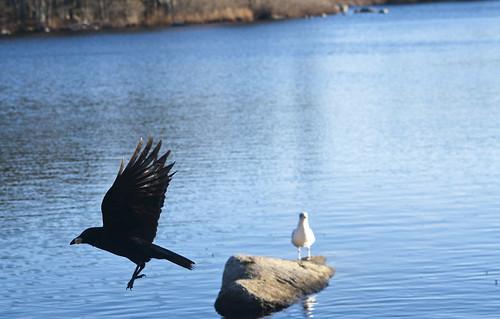 Crow & Gull
