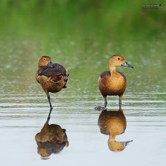 Lesser Whistling Duck (Dendrocygna javanica) (Sir Mart Outdoorgraphy) Tags: birds magazine education nikon photographer bokeh outdoor birding best malaysia penang indah birdwatching birder butterworth birdisland byram unik nikonian d90 migratorybirds bairam menarik nikonuser lesserwhistlingduckdendrocygnajavanica nibongtebal jurugambar penangflickr sigma150500 pulauburung sirmart outdoorgraphy penangflickrgroup pulauburong
