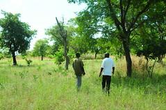 Joel's cashew trees in Ghana