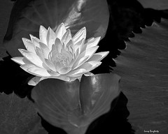 Water Lily in Black and White (Larry Daugherty) Tags: blackandwhite flower nikon waterlily lily blossom neworleans petal bloom botanicalgarden aquaticplant d700