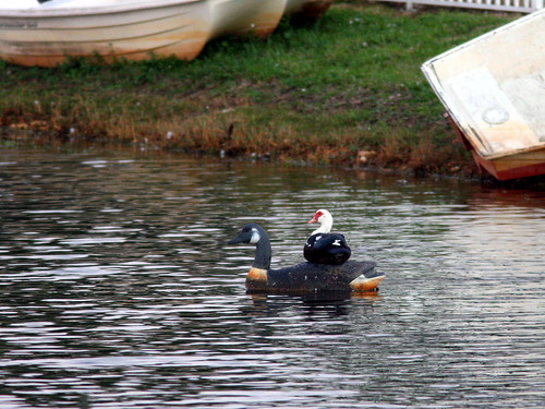 Muscovy on decoy 20101130