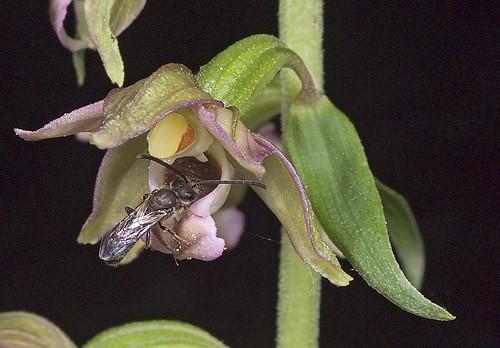 Epipactis, abreuvoirs à insectes 5226667977_78f99478d6