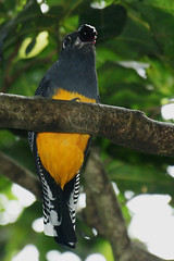 Green-backed Trogon (Trogon viridis viridis)