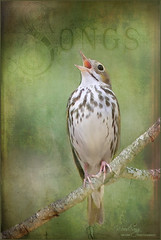 Soul Music (VisionQuest Artworks) Tags: nature birds textures ovenbird tatot magicunicornverybest woodsongnaturephotography|visionquestartworks texturesbyjewell singinghisout