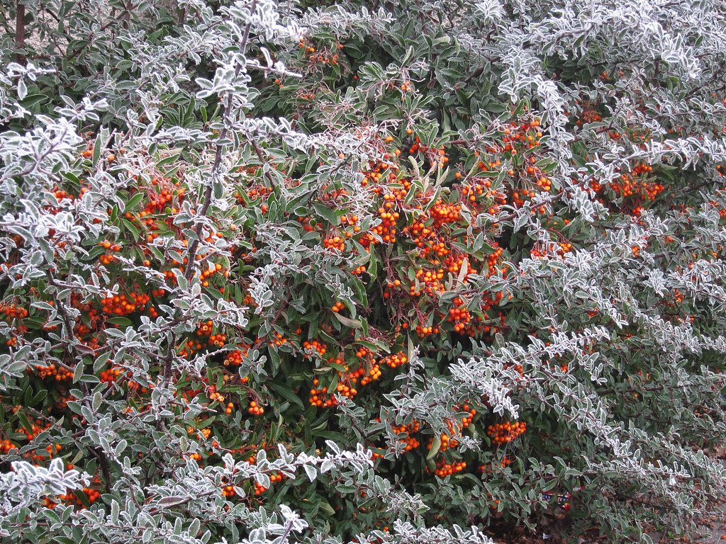 Hoar Frost more Berries