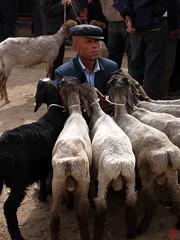 Ein Mann und seine Schafe (sring77) Tags: china sheep xinjiang   sundaymarket  geschft handel schafe schaf  viehmarkt sonntagsmarkt livestockmarket zchter kaxgar  kahgar ostturkestan