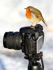 Robin photographer (vic_206) Tags: uk snow cute bird robin nikon funny erithacusrubecula lol nieve pajaro fotografo petirrojo donnanook canon300f4lis canoneos7d